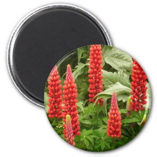 El altramuz rojo florece el imán