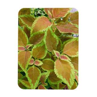 El amarillo afiló la planta del coleo imán rectangular