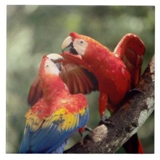 El Amazonas, el Brasil. Pares de Macaws del escarl Azulejo Ceramica