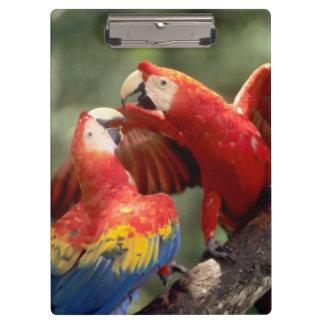El Amazonas, el Brasil. Pares de Macaws del escarl
