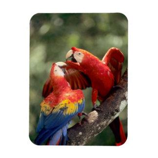 El Amazonas, el Brasil. Pares de Macaws del escarl Iman Rectangular