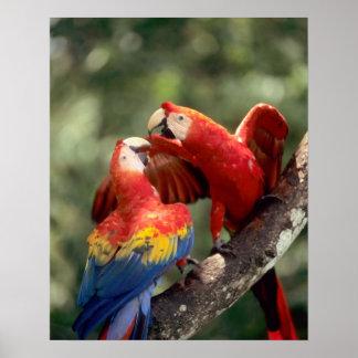 El Amazonas, el Brasil. Pares de Macaws del escarl Posters