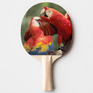 El Amazonas, el Brasil. Pares de Macaws del escarl Pala De Tenis De Mesa