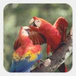 El Amazonas, el Brasil. Pares de Macaws del escarl Pegatina Cuadradas