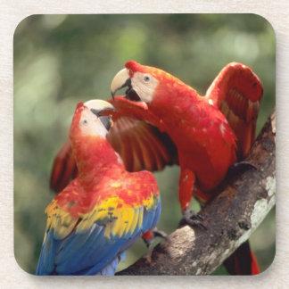 El Amazonas, el Brasil. Pares de Macaws del escarl Posavasos De Bebida