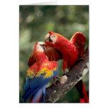 El Amazonas, el Brasil. Pares de Macaws del escarl Tarjetón