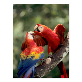 El Amazonas, el Brasil. Pares de Macaws del escarl Tarjeta Postal