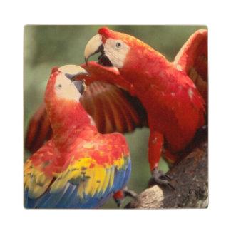 El Amazonas, el Brasil. Pares de Macaws del