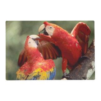 El Amazonas, el Brasil. Pares de Macaws del Tapete Individual