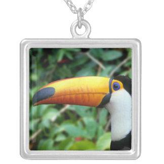 El Amazonas, el Brasil. toucan Amarillo-beaked con Collar Plateado