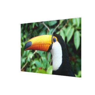 El Amazonas, el Brasil. toucan Amarillo-beaked con Lienzo Envuelto Para Galerías