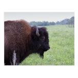 El americano aclara la postal del bisonte del búfa