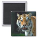 El Amur o el tigre siberiano Imán De Frigorífico