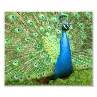 El apuntalar del pavo real impresión fotográfica