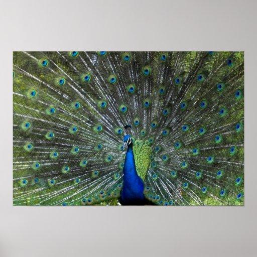 El apuntalar del pavo real póster