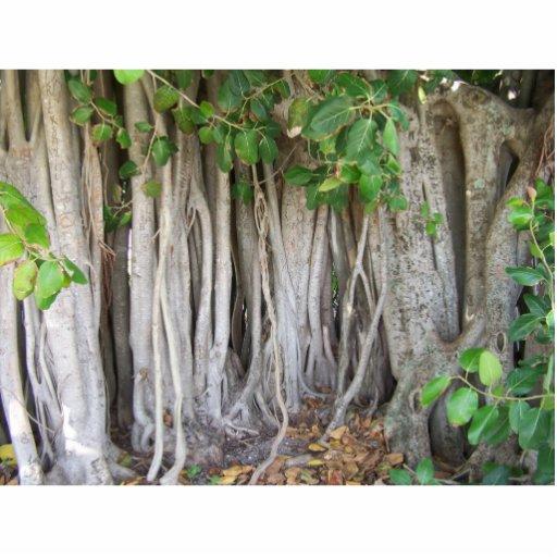 El árbol antiguo viejo del ficus arraiga la imagen escultura fotografica