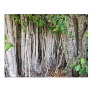 El árbol antiguo viejo del ficus arraiga la imagen postal