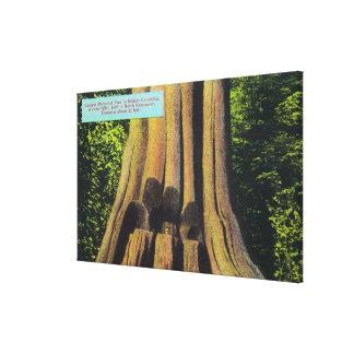 El árbol registrado más grande en el árbol A.C. 18 Lona Envuelta Para Galerias