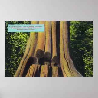 El árbol registrado más grande en el árbol A.C. 18 Poster