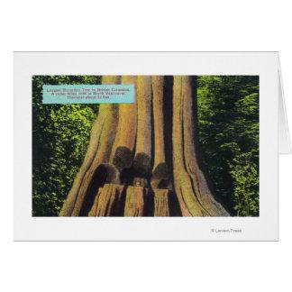 El árbol registrado más grande en el árbol A C 18 Tarjeton