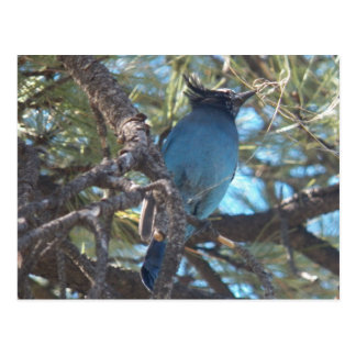 El arrendajo azul estelar de Dee… un par Tarjetas Postales