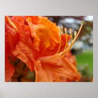 El arte de Rhodies del naranja de las flores 6 de  Póster