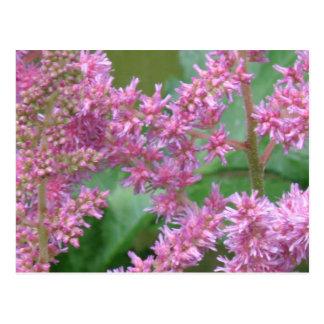 El Astilbe rosado florece la postal