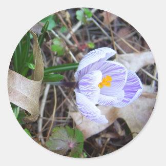 El azafrán CricketDiane de la primavera florece Pegatina Redonda