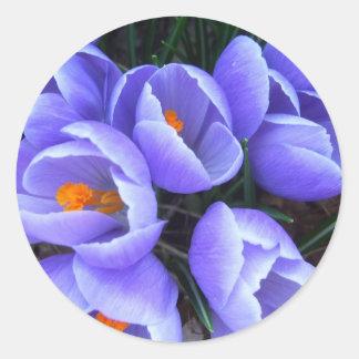 El azafrán CricketDiane de la primavera florece pr Etiqueta Redonda