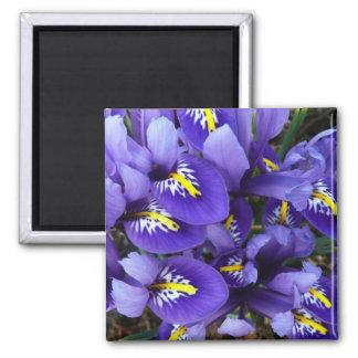 El azul miniatura irisa el imán