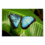 El azul Morph la mariposa Impresiones