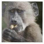 El babuino de Chacma juvenil (ursinus del Papio) Azulejo Cuadrado Grande
