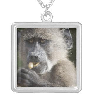 El babuino de Chacma juvenil (ursinus del Papio) Colgante Cuadrado