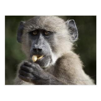 El babuino de Chacma juvenil (ursinus del Papio) Tarjeta Postal