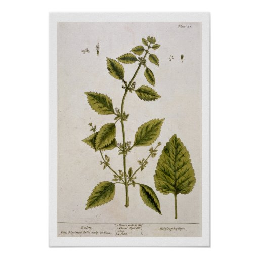 """El bálsamo, platea 27 """"de un herbario curioso"""", pu póster"""