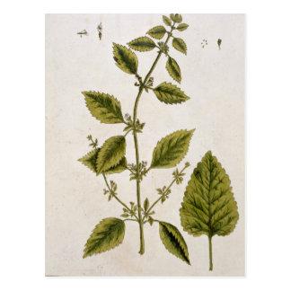 """El bálsamo, platea 27 """"de un herbario curioso"""", tarjeta postal"""