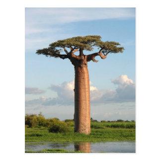El baobab Madagascar de Grandidier Postal