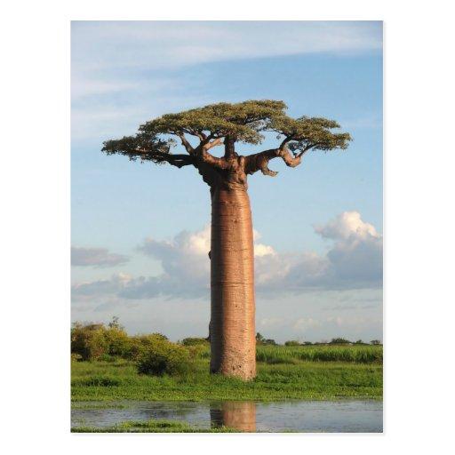 El baobab Madagascar de Grandidier Tarjetas Postales