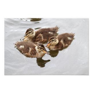 El bebé Ducks la foto