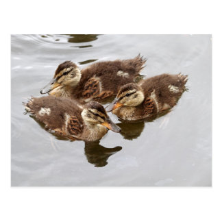 El bebé Ducks la foto Tarjetas Postales