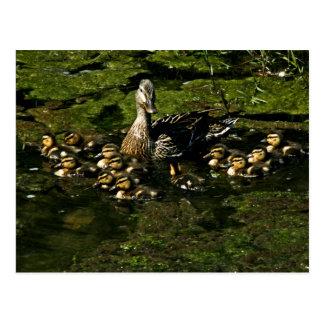 El bebé Ducks la postal 2