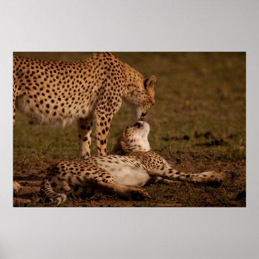 El beso de un guepardo poster