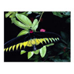 El birdwing masculino de Rajah Brooke, Malasia Postales
