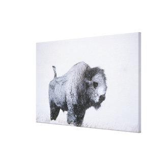 El bisonte de Bull (bisonte del bisonte) se Impresión En Lienzo