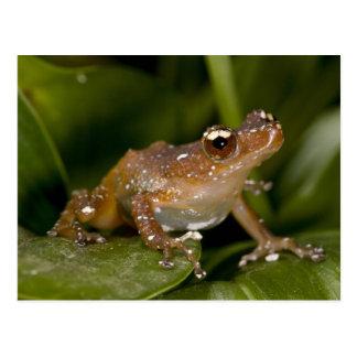 El blanco manchó la rana, pictus de Nytixalus, Tarjetas Postales