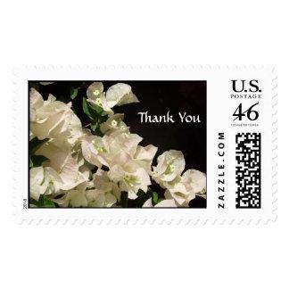 El Bougainvillea blanco florece franqueo