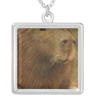 El Brasil, Pantanal, Matto Grosso. Capybara Pendiente