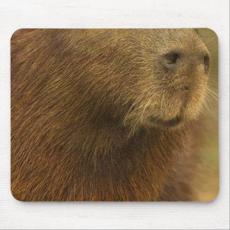 El Brasil, Pantanal, Matto Grosso. Capybara Mousepads