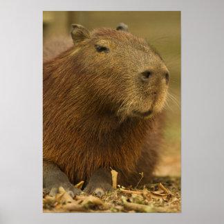 El Brasil, Pantanal, Matto Grosso. Capybara Impresiones