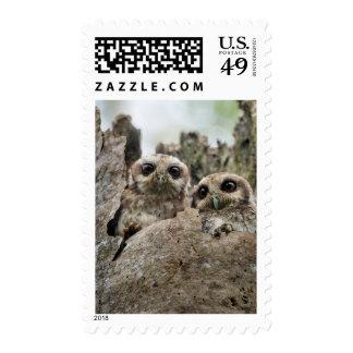 El búho de chillido en pernetas del búho o del sello postal